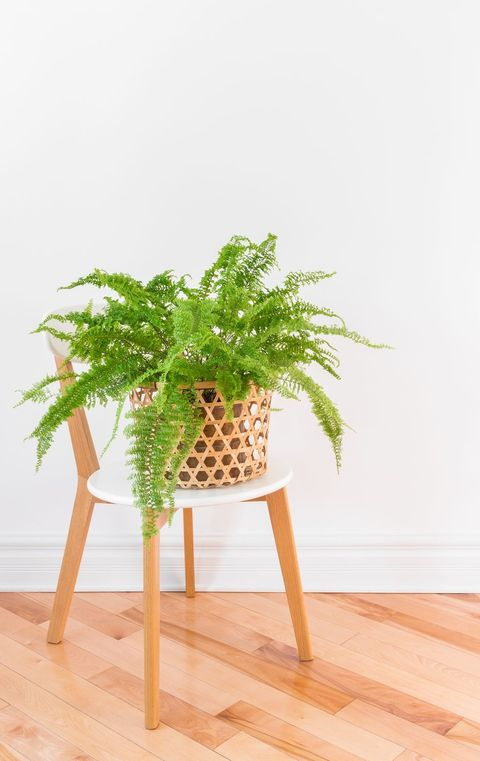 best aesthetic plants fern