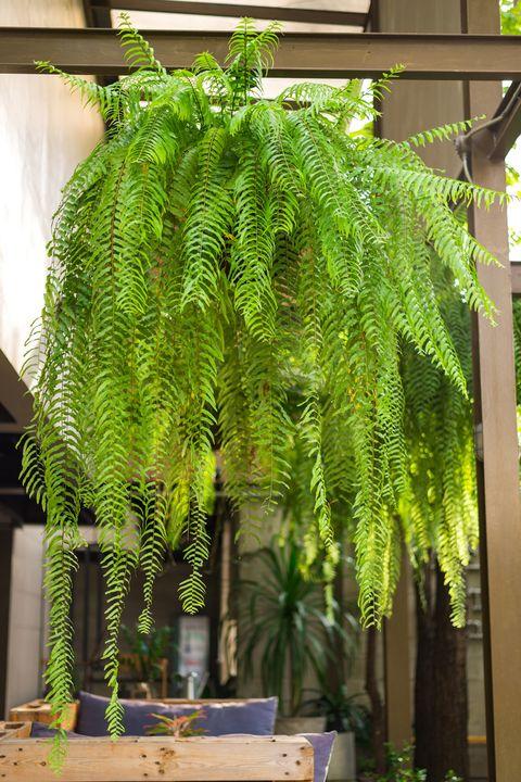 fern shade perennial