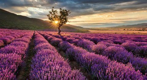 Lavender, English lavender, Lavender, Flower, Purple, Sky, Field, Plant, Natural landscape, Flowering plant,