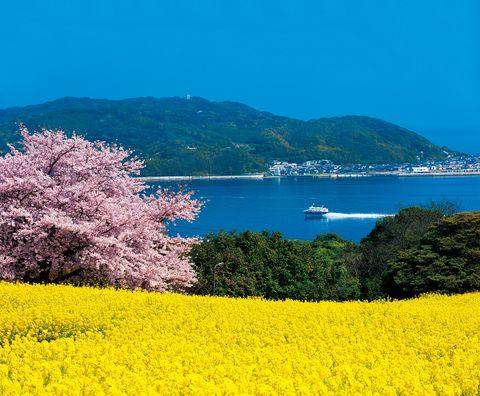 福岡・能古島 のこのしまアイランドパークの桜