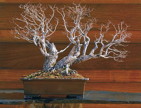 Houseplant, Tree, Flowerpot, Branch, Bonsai, Plant, Woody plant, Sageretia theezans, Twig, Trunk,