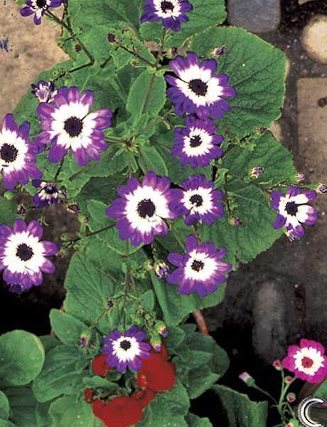 Flower, Flowering plant, Plant, Pericallis, Purple, Petal, Morning glory family, Morning glory, Annual plant, Wildflower,