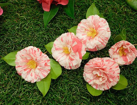 Flower, Petal, Pink, Plant, Flowering plant, Camellia, Spring, Japanese Camellia, Peach, Begonia,