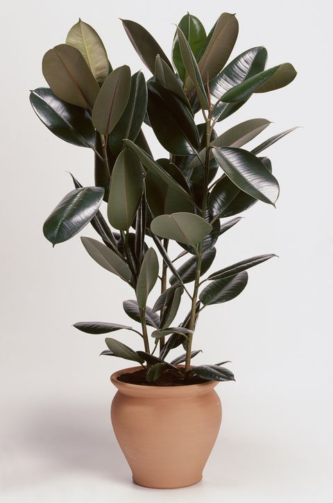 Ficus elastica 'Robusta' (Rubber plant) in terracotta plant pot