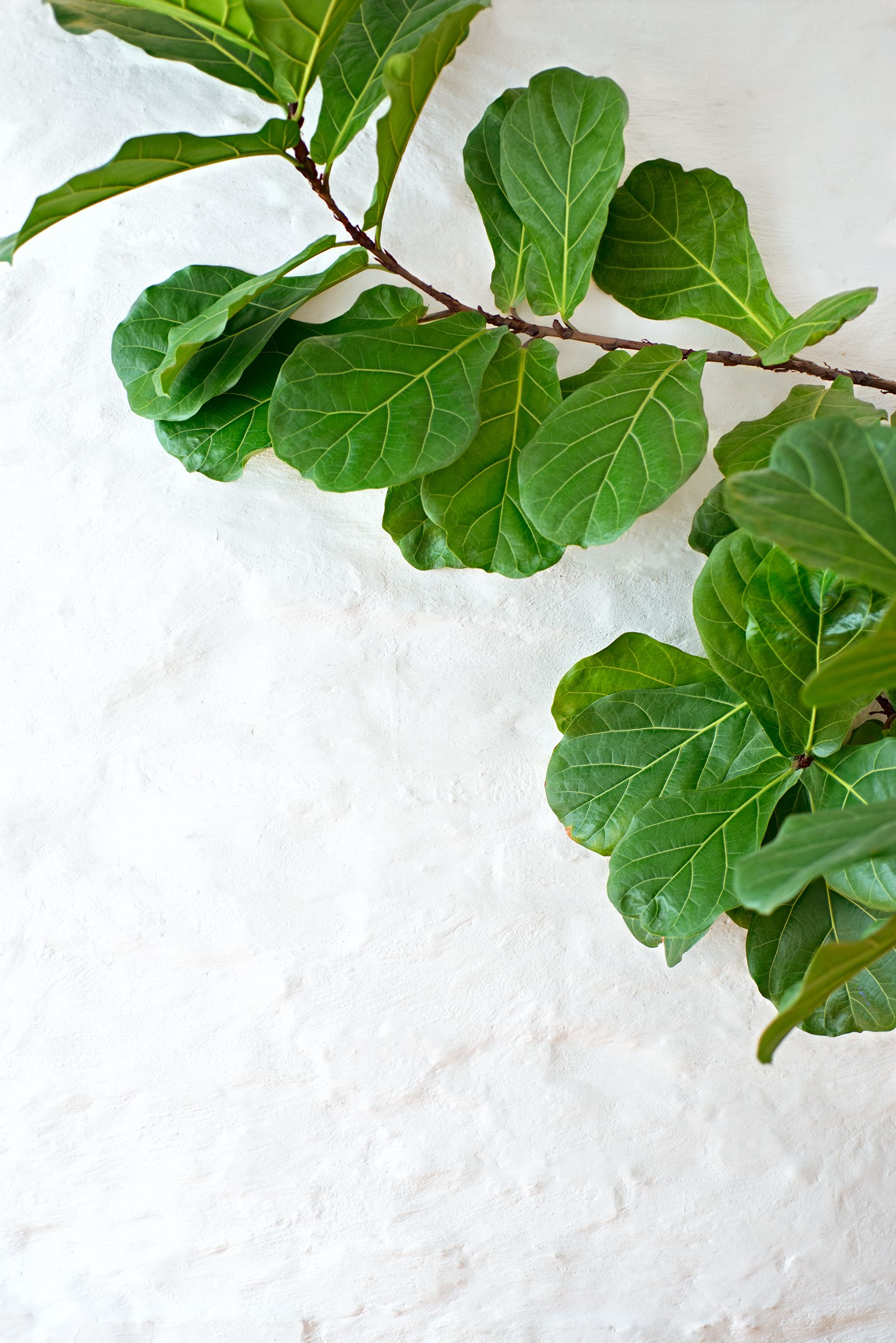 Fiddle Leaf Fig Tree Care How To Grow A Fiddle Leaf Fig