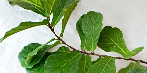 Fiddle Leaf Fig Tree Care How To Grow A