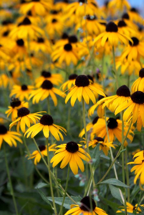 Field of Black-Eyed Susan