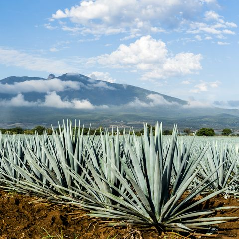A field of Blue Agave in Jalisco Mexico
