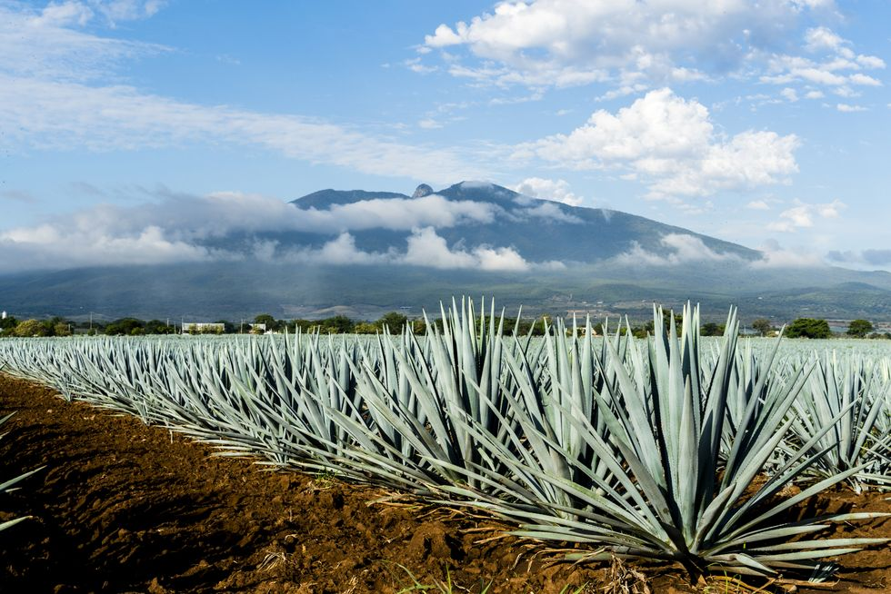 Agave Could Be the Next Big ...