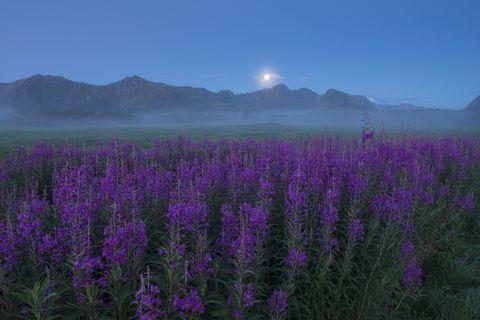 field of purple flowers in foggy weather at twilight, gimsoy, lofoten, norway