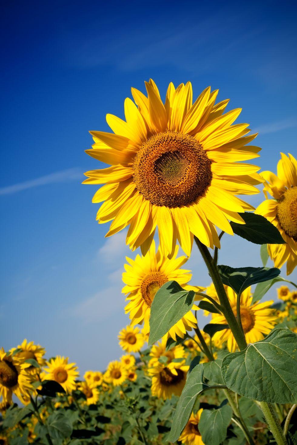 Sunflowers - Flower Meanings
