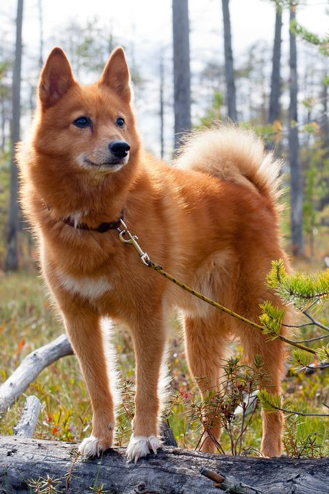 13 Rare Dog Breeds That Make Great Pets Rare Large