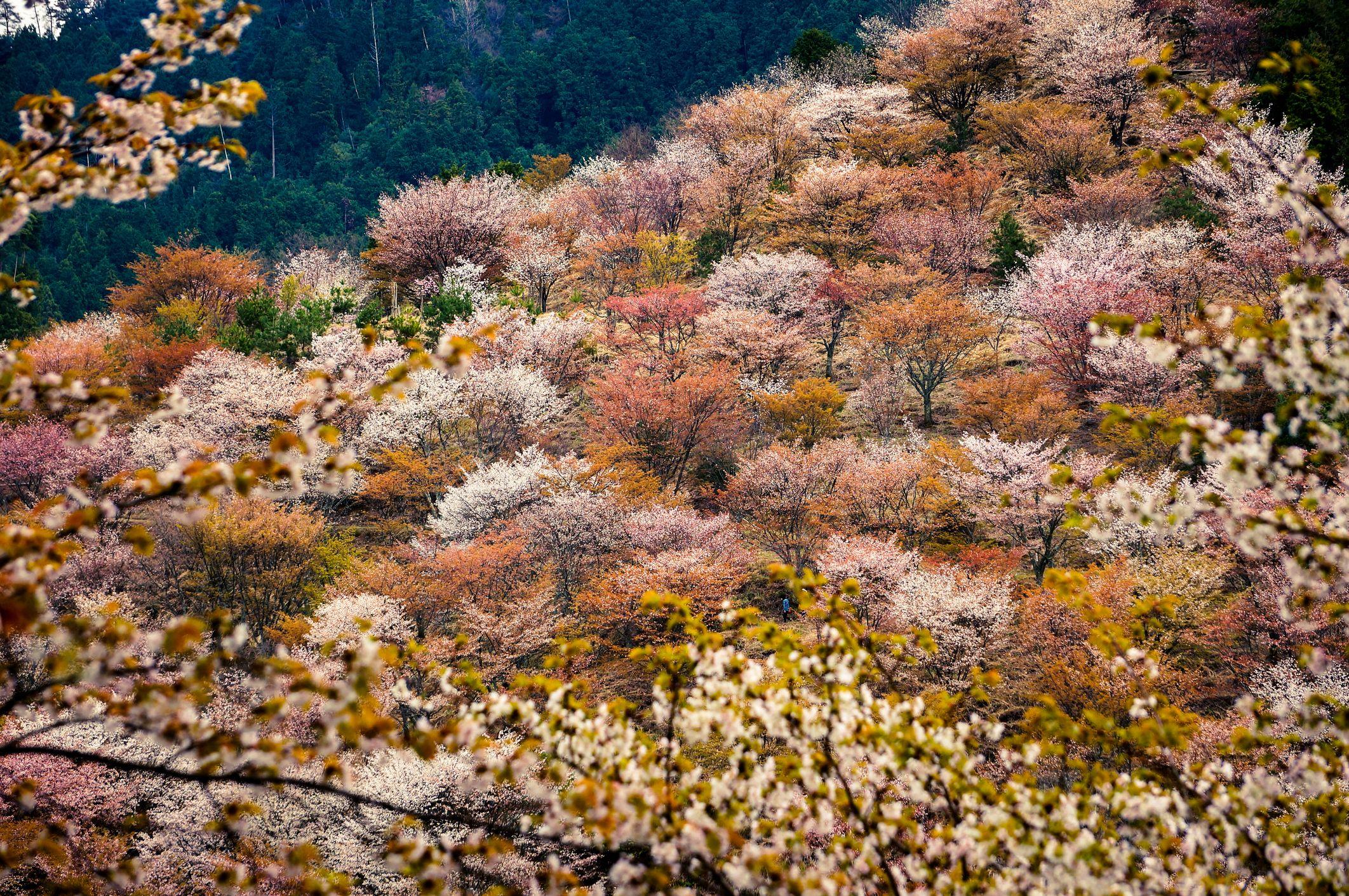 ciliegi in fiore a Yoshimo
