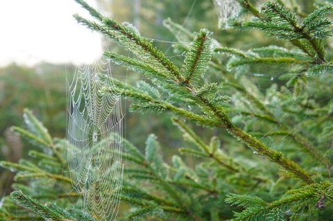 Fir tree with spider web in forest