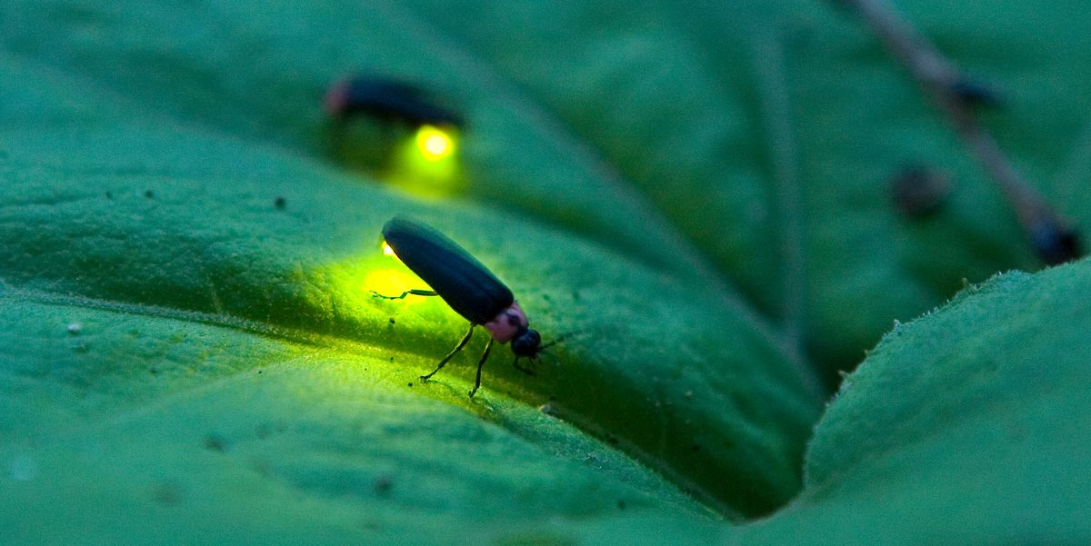Firefly vs. Lightning Bug: Is There a Difference Between the Two?