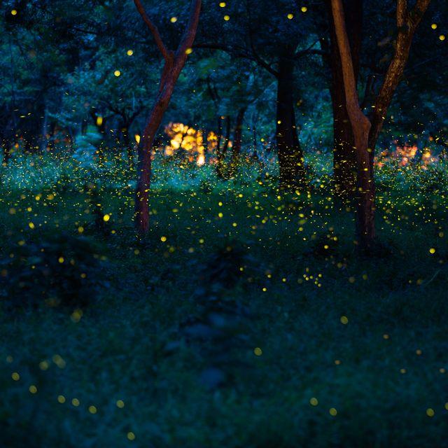 firefly vs lightning bug