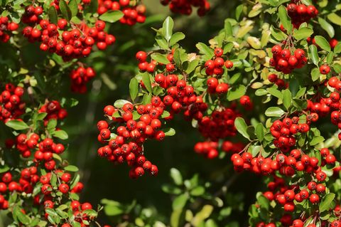 20 Fast Growing Shrubs And Bushes For Privacy Evergreen