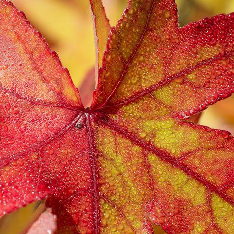 Flaming Autumn red leaf of sweet gum tree Liquidambar