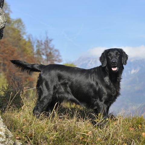 40 Best Large Dog Breeds Top Big Dogs List And Pictures