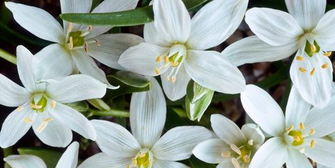 Flowering plant, Flower, Petal, Plant, Prussian asparagus, glory of the snow, paperwhite, Wildflower, Narcissus, Lily family,