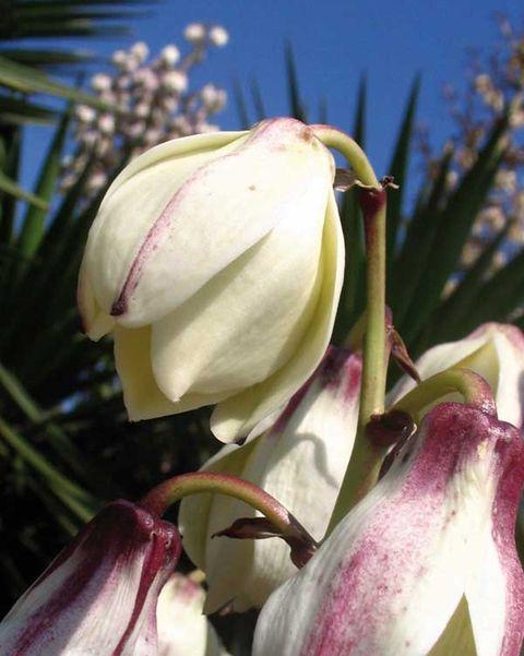 yuca en flor