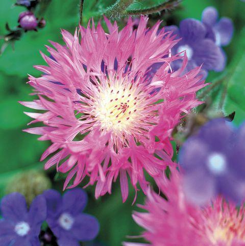 flores aciano