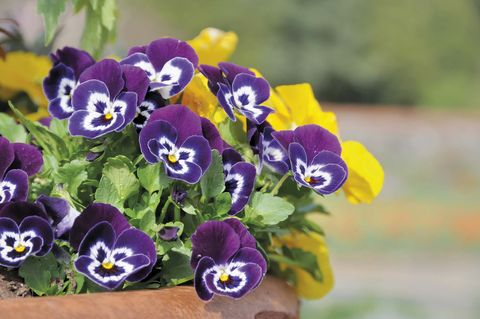 Flores: Pensamientos