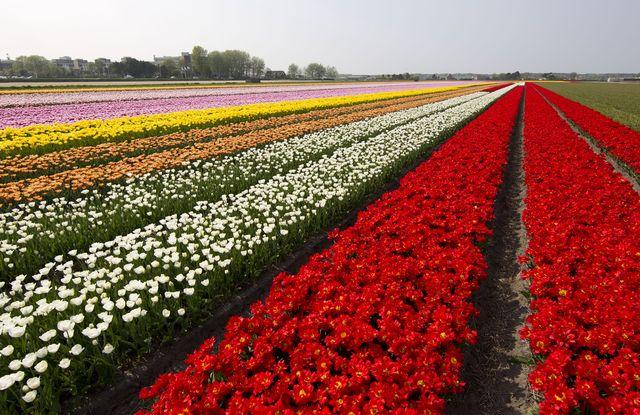 dutch flower fields in full bloom
