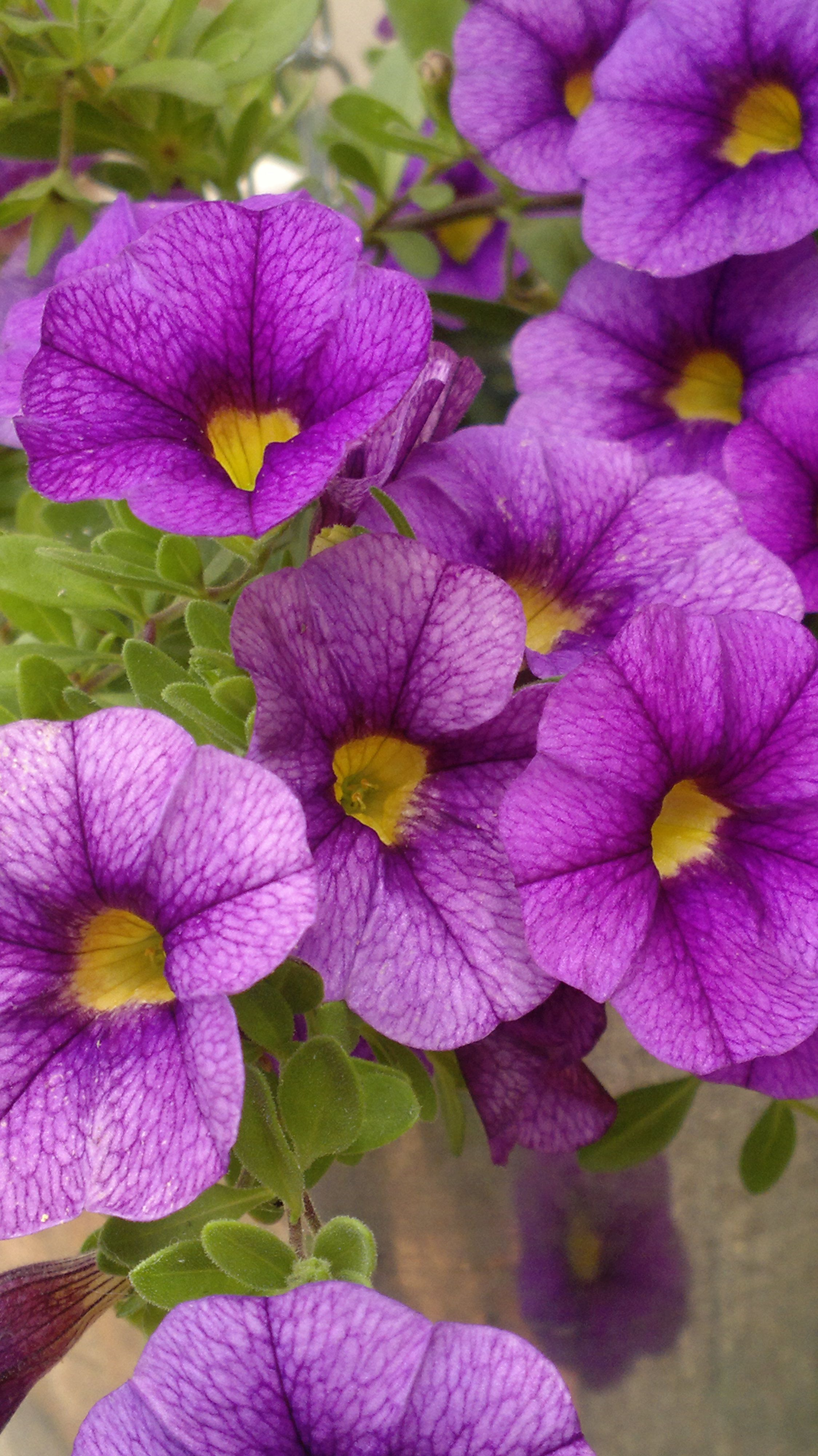 22 Purple Flowers For Gardens Perennials Annuals With Purple