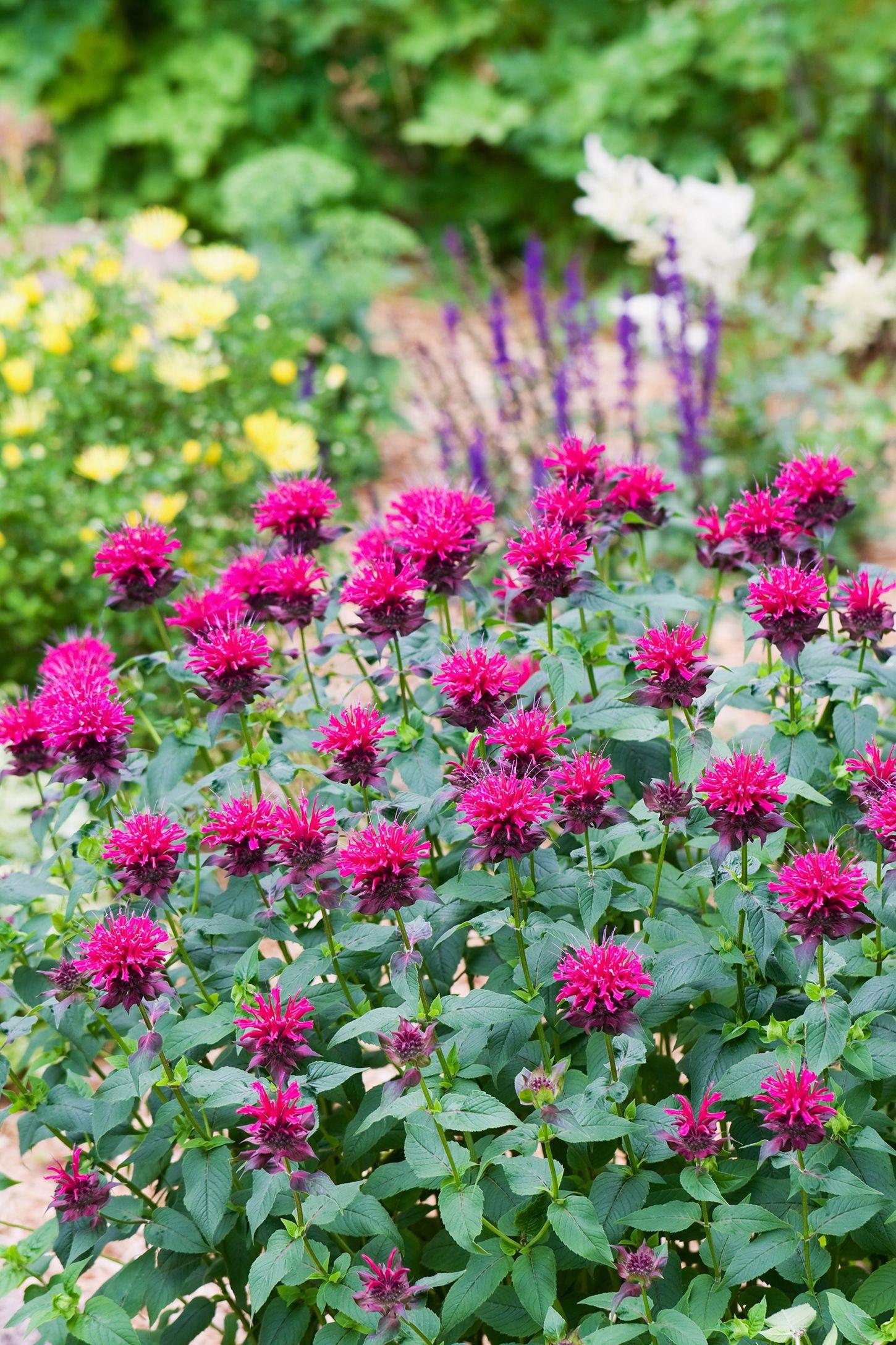flowering herbs bee balm