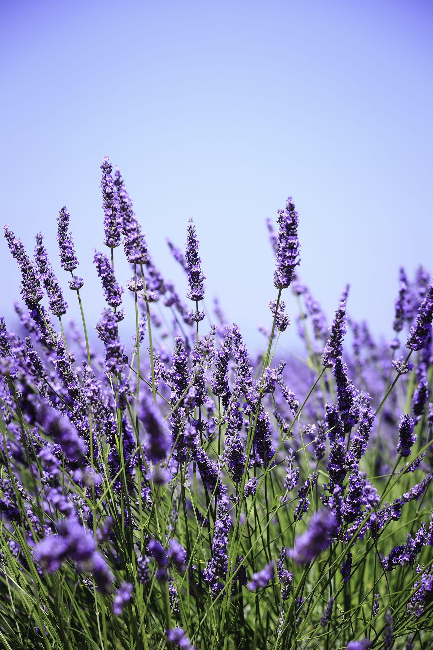 flowering herbs lavender