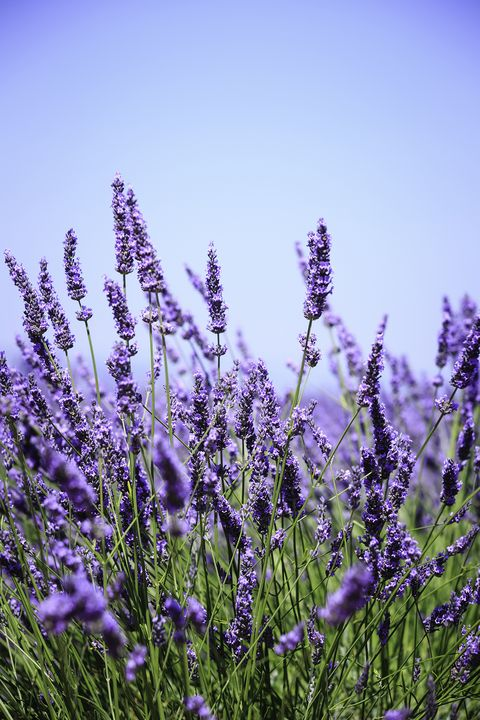 flowering herbs lavender