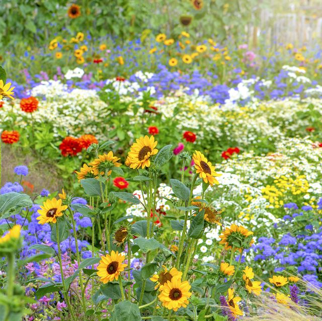 Beautiful, colourful flowers in a summer garden with sunflowers, Zinnia and grasses in soft sunshine