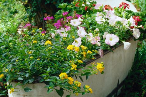 Flowers Blooming in a Washtub
