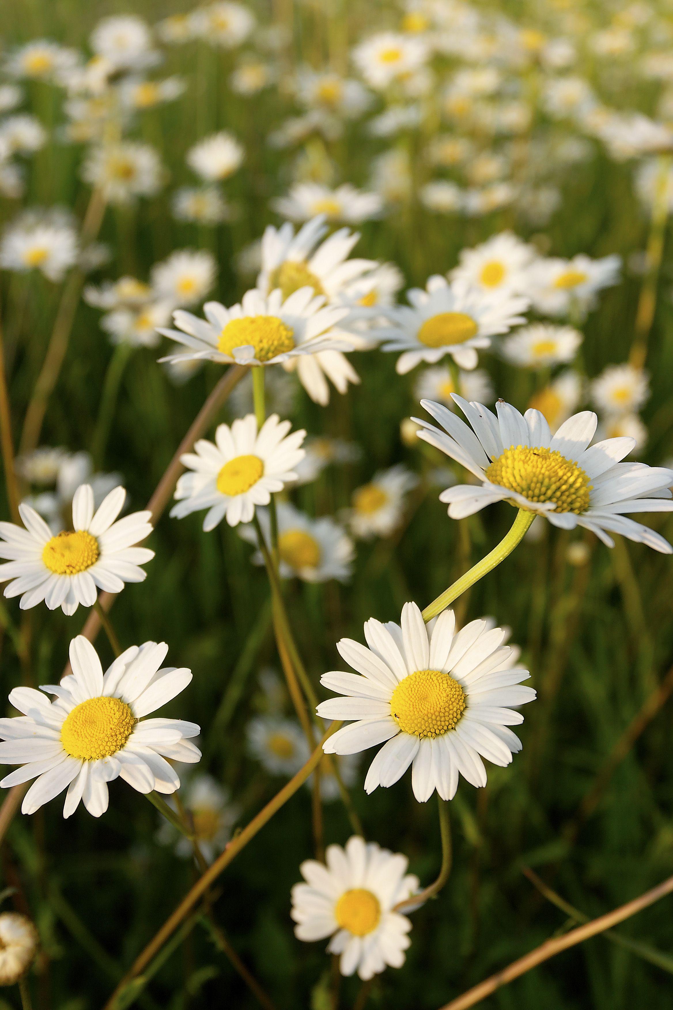 Margaritas - significados de la flor
