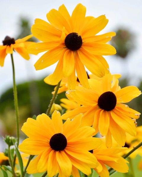 Flowering Black eyes susan