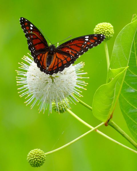 Butterfly on a white Buttonbush plant
