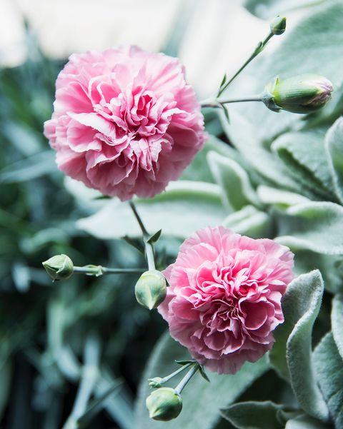 Flowering Clove Pink