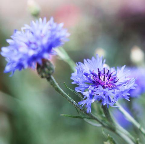 Blue cornflower plant