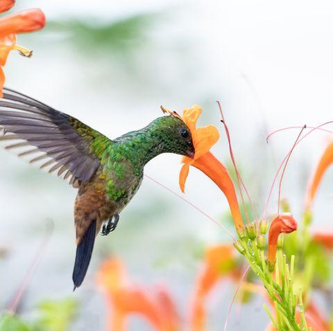 wildlife in nature, tropical bird in a garden, hummingbird in flight, bird in tropical surrounding
