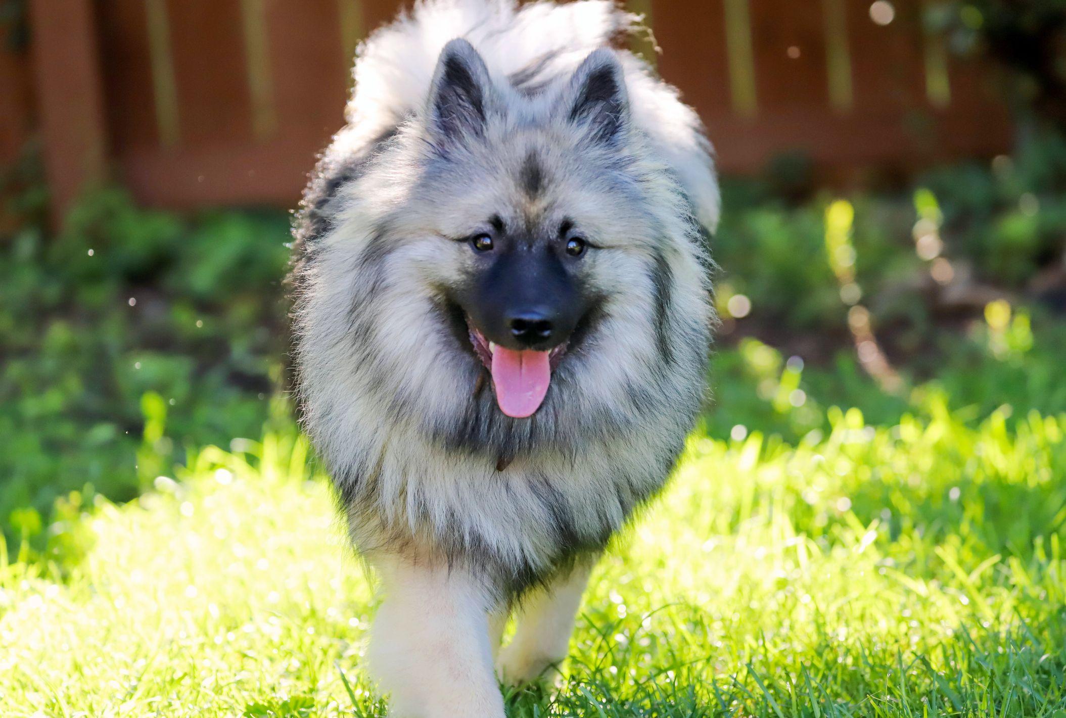13 Fluffy Dog Breeds Pomeranian