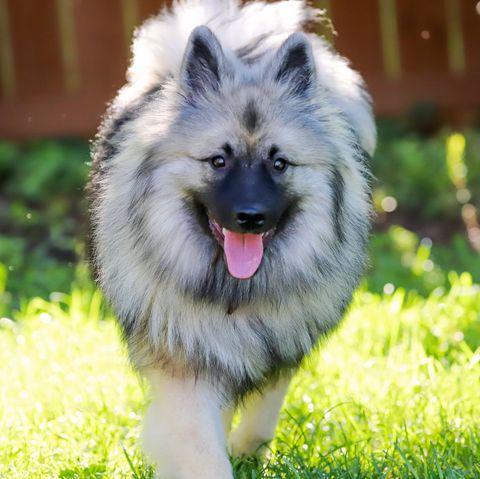 fluffy dog breeds - Keeshond