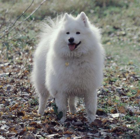 fluffy dog breeds - Samoyed