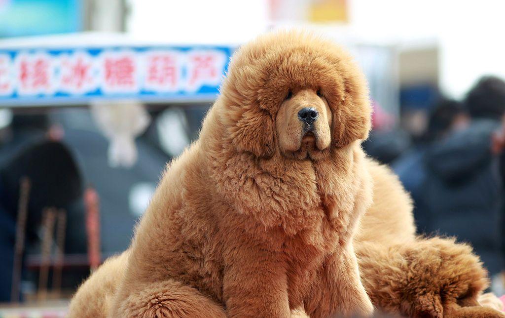 13 Big Fluffy Dog Breeds: Pomeranian