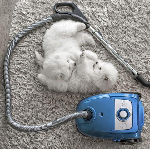 Fluffy white dogs laying on shag carpet near vacuum