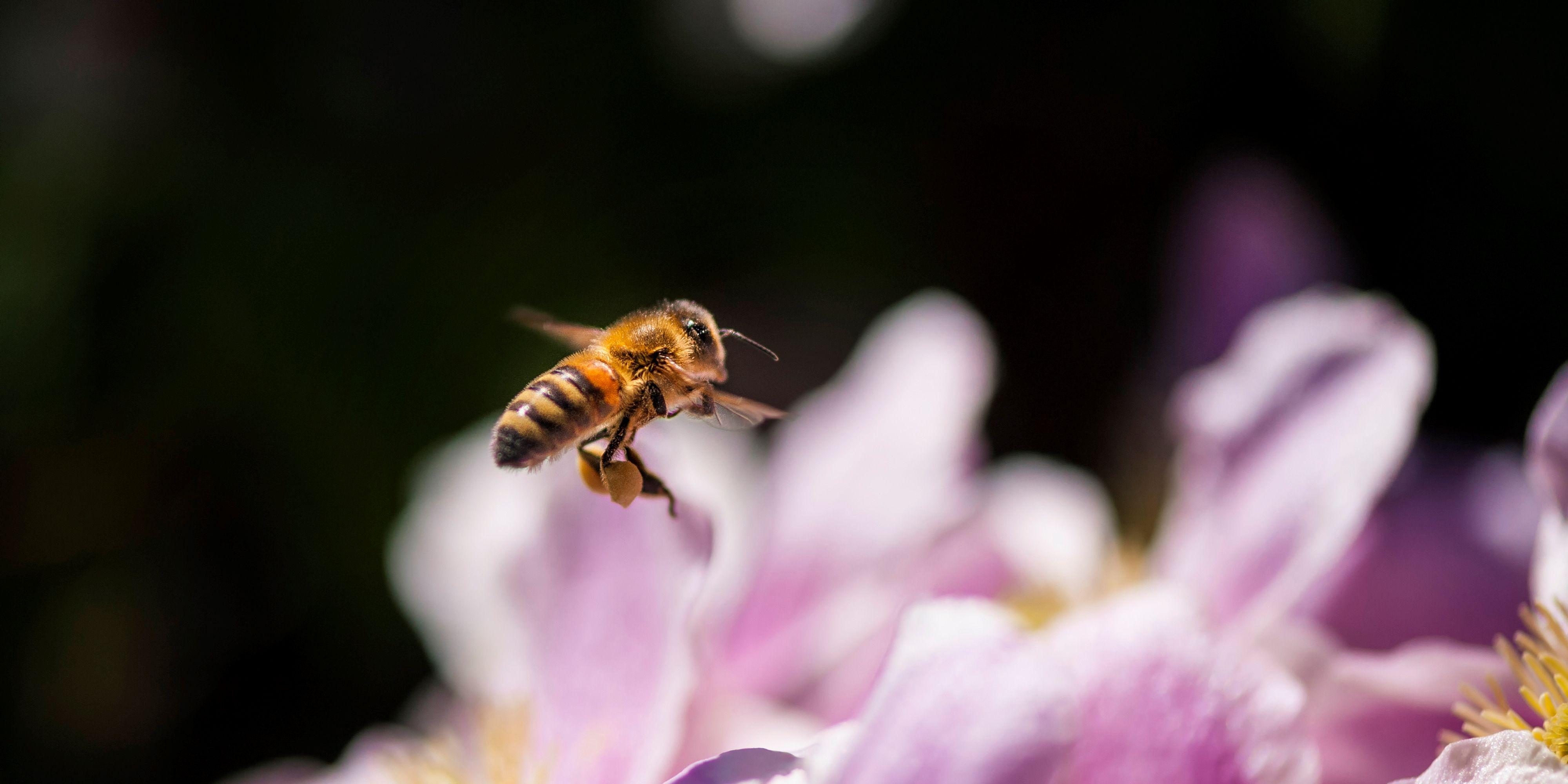 Flying bee near a sunflower