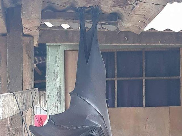 a flying fox bat perched upside down
