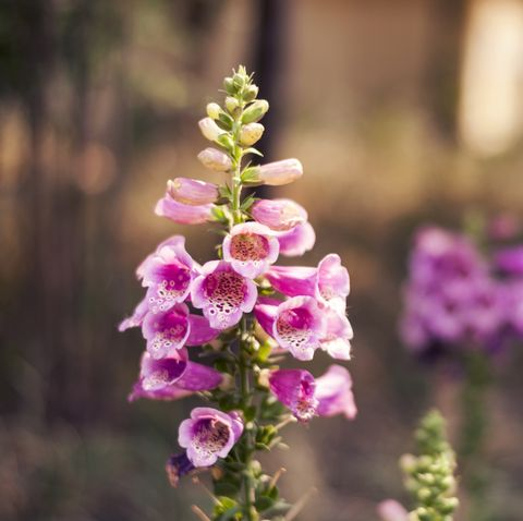 Beautiful foxglove flower in garden