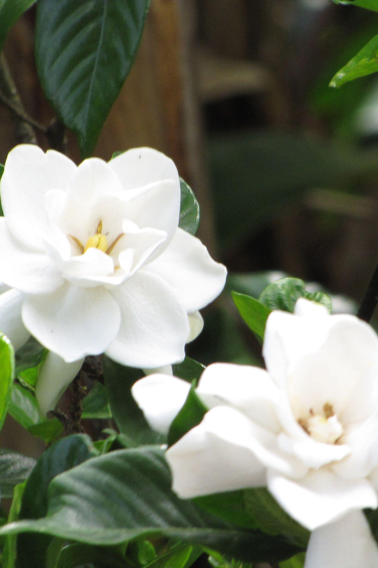 fragrant night flowers gardenia augusta