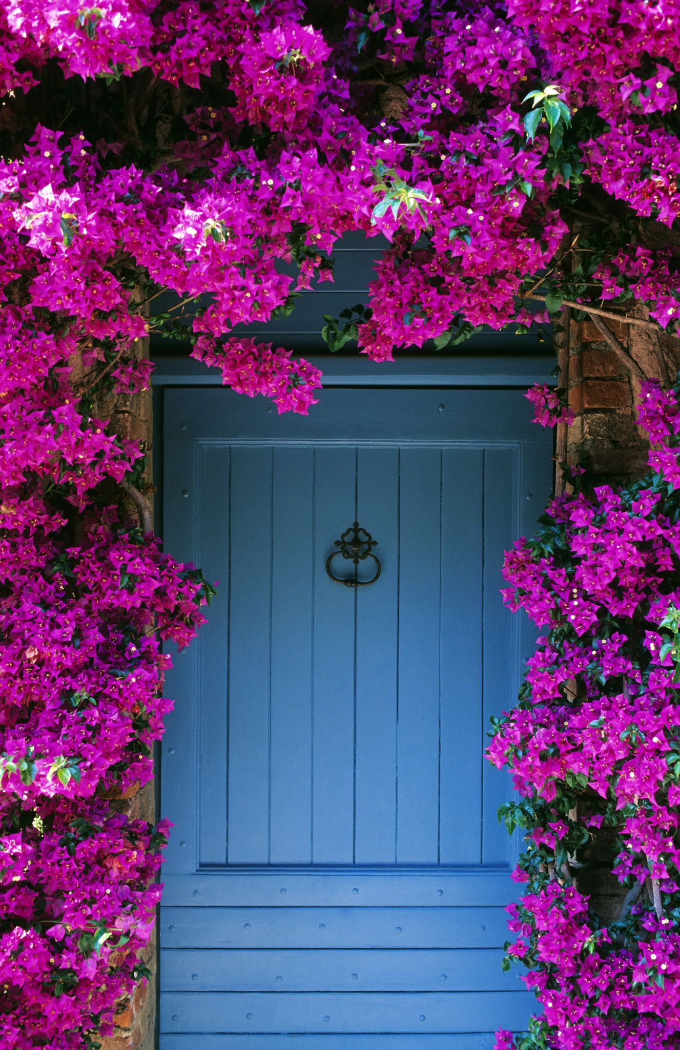 flowering vines bougainvillea
